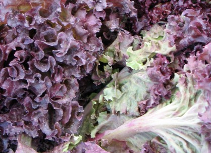 Colourful lettuce