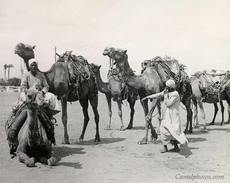 New Camel Caravan Cartoon Camel