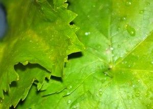 Vine leafs - detail