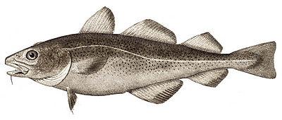 The Atlantic cod, Gadus morhua
