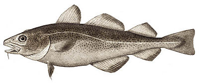 The Atlantic cod, Gadus morhua
