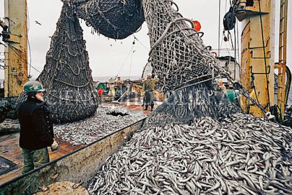 Emptying fishing nets of a trawler