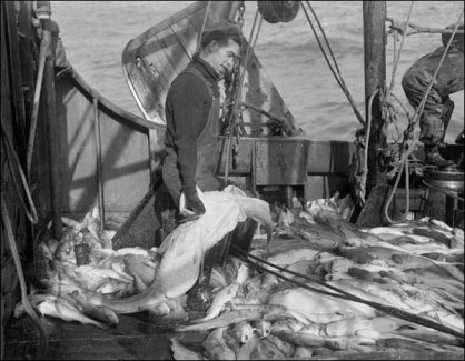 Codfish on a trawler off the Grand Banks of NL, 1949
